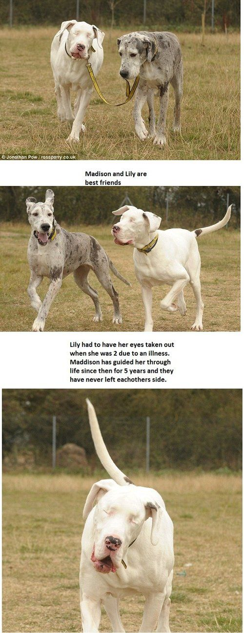 3 This Story Lily Is A Great Dane That Has Been Blind Since A