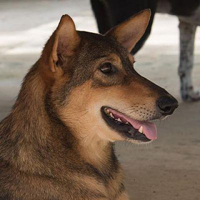 Toronto On Shepherd Unknown Type Meet Rumor A Pet For