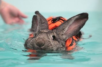 heidi the rabbit goes swimming in a lifejacket to help with her