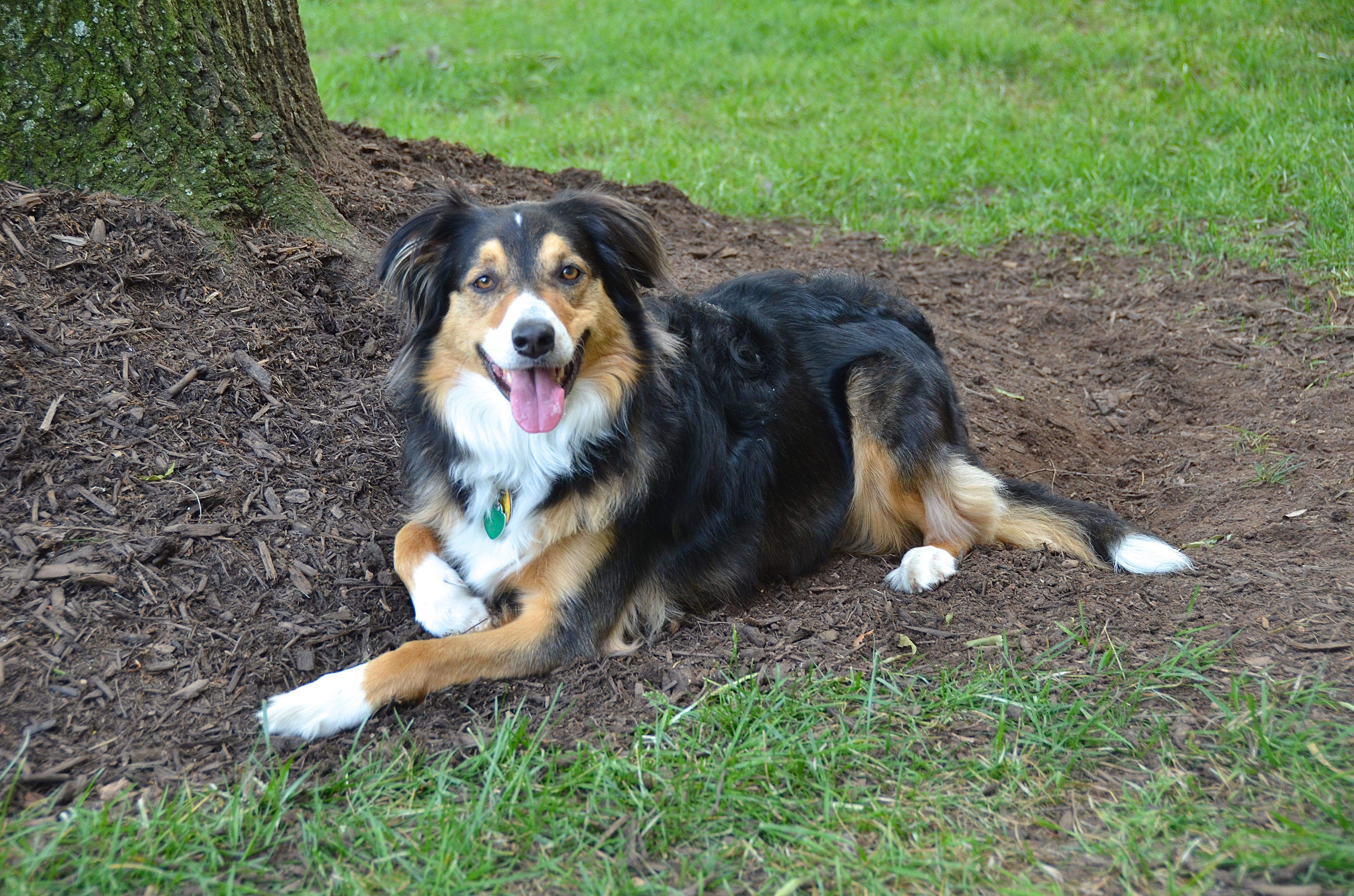 Pin By Patte Dotson On Dog Breeds English Shepherd Dog Breeds Herding Dogs Breeds
