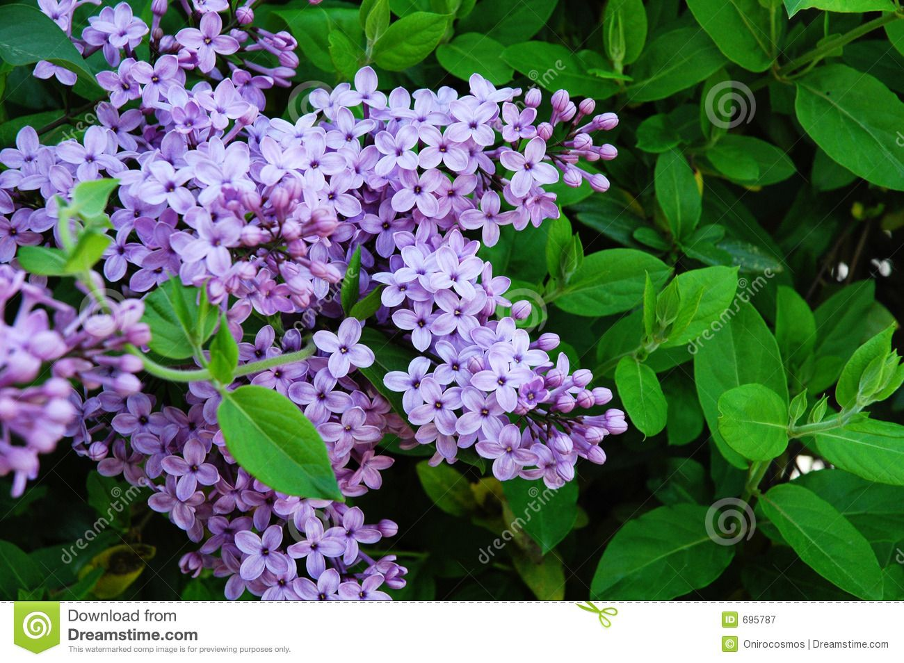 Lilac And Honeysuckle 1 Royalty Free Stock Photography Image 695787 Climbing Plants Lilac Honeysuckle
