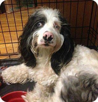 Minneapolis Mn Cocker Spaniel Skye Terrier Mix Meet Cubbie A Dog For Adoption Dog Adoption Terrier Mix Dogs Skye Terrier