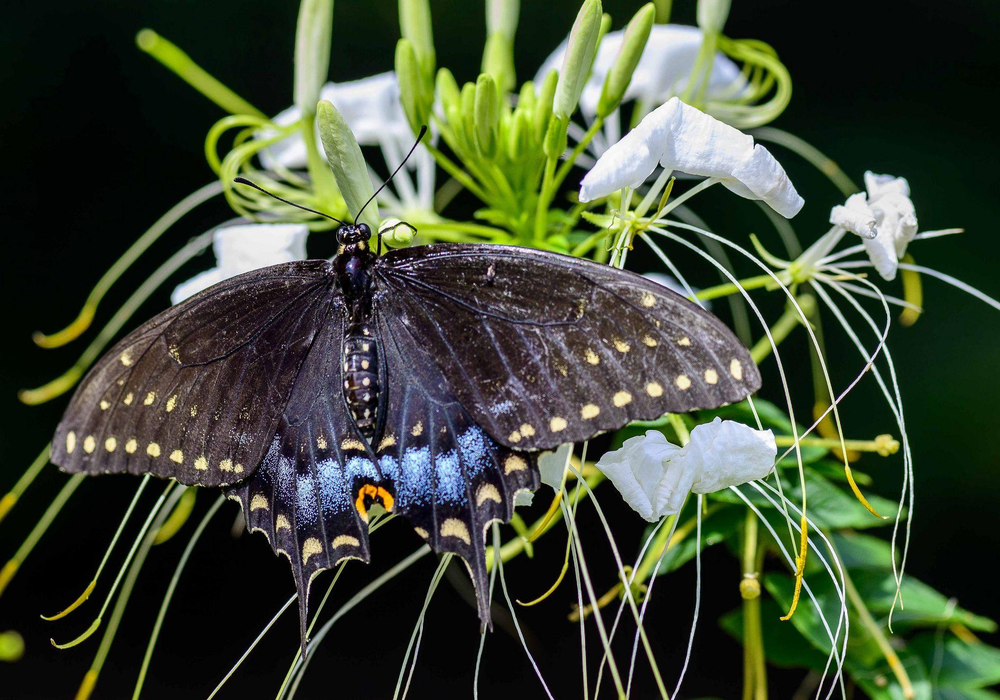 https://flic.kr/p/w5i3pC | Butterfly-on-black