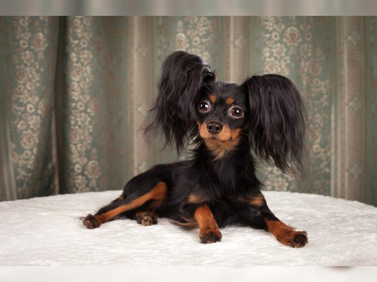 Pin By Personal On Russian Toy Terrier Dogs And Puppies In 2020 Russian Toy Terrier Terrier Dogs Dogs And Puppies