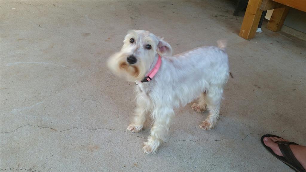 Lost Dog - Schnauzer Miniature - Covington, GA, United States 30014