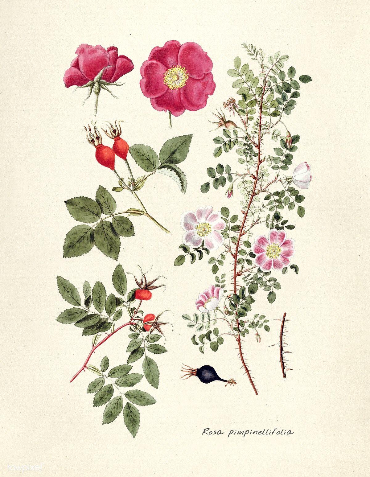 Download Premium Illustration Of Antique Illustration Of Rosa Botanical Drawings Flower Illustration Rose Illustration