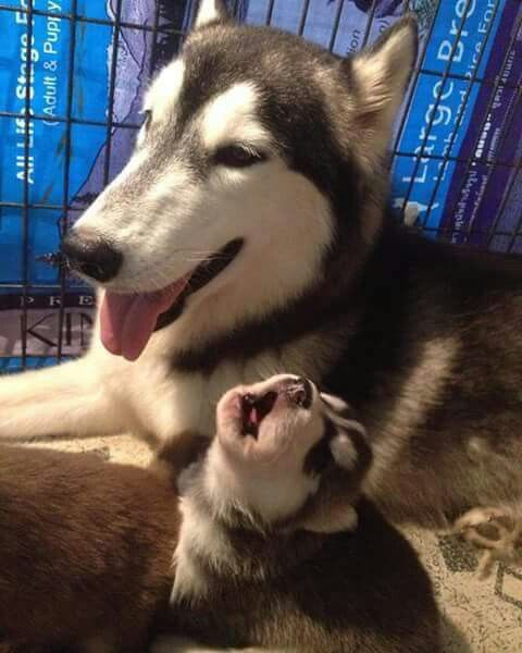 Malamutes Seldom Bark Like A Dog But They Do Howl Like A Wolf From