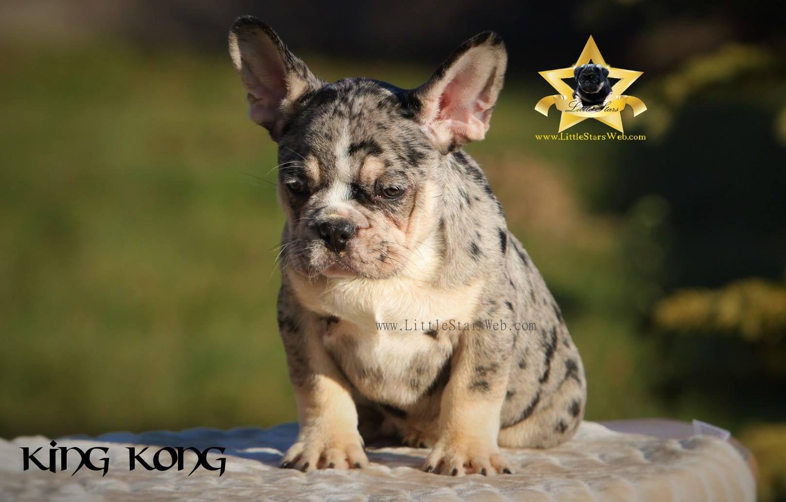 First Registered Merle Tri French Bulldog Bulldog Pets Animals