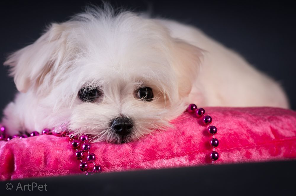 Maltese Puppy For Sale Maltese Puppies For Sale Maltese Puppy Puppies For Sale