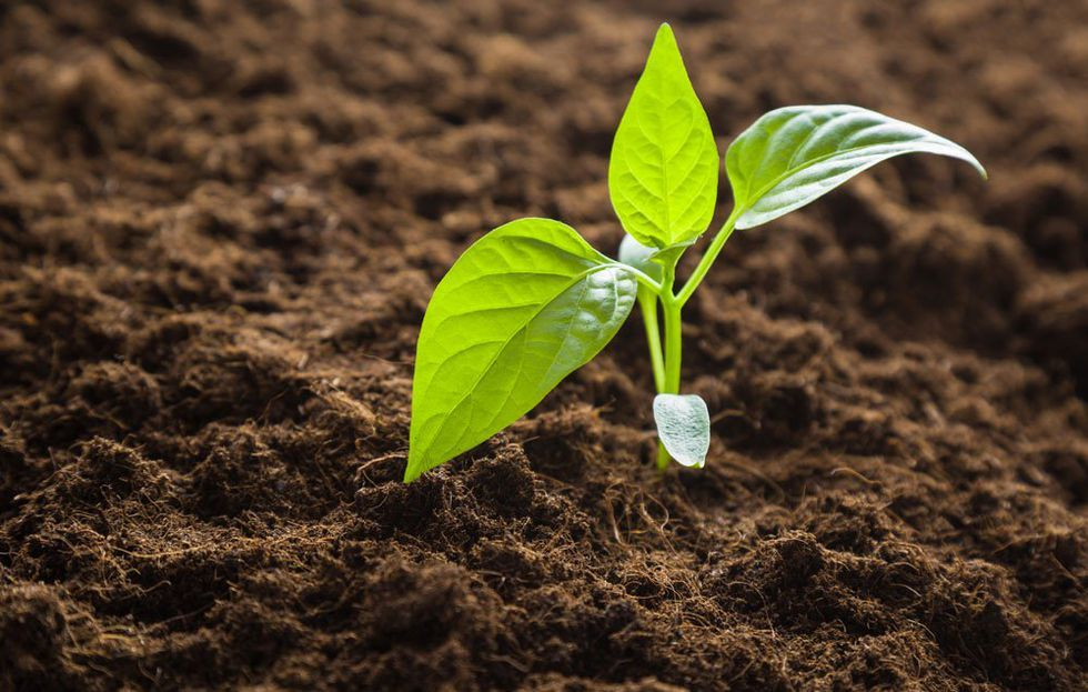 A stepbystep guide to growing peppers growing peppers