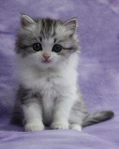 RagaMuffin Kittens Ragamuffin kittens, Kittens cutest