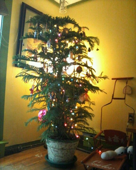 Christmas Trees Norfolk: My Norfolk Island Pine Christmas Tree In Decoupaged Pot