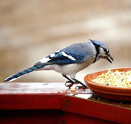 Blue Jay © Juno Photography, Ohio, November 2008, http://www.flickr.com/photos/junocozmosphotography/3049303640/