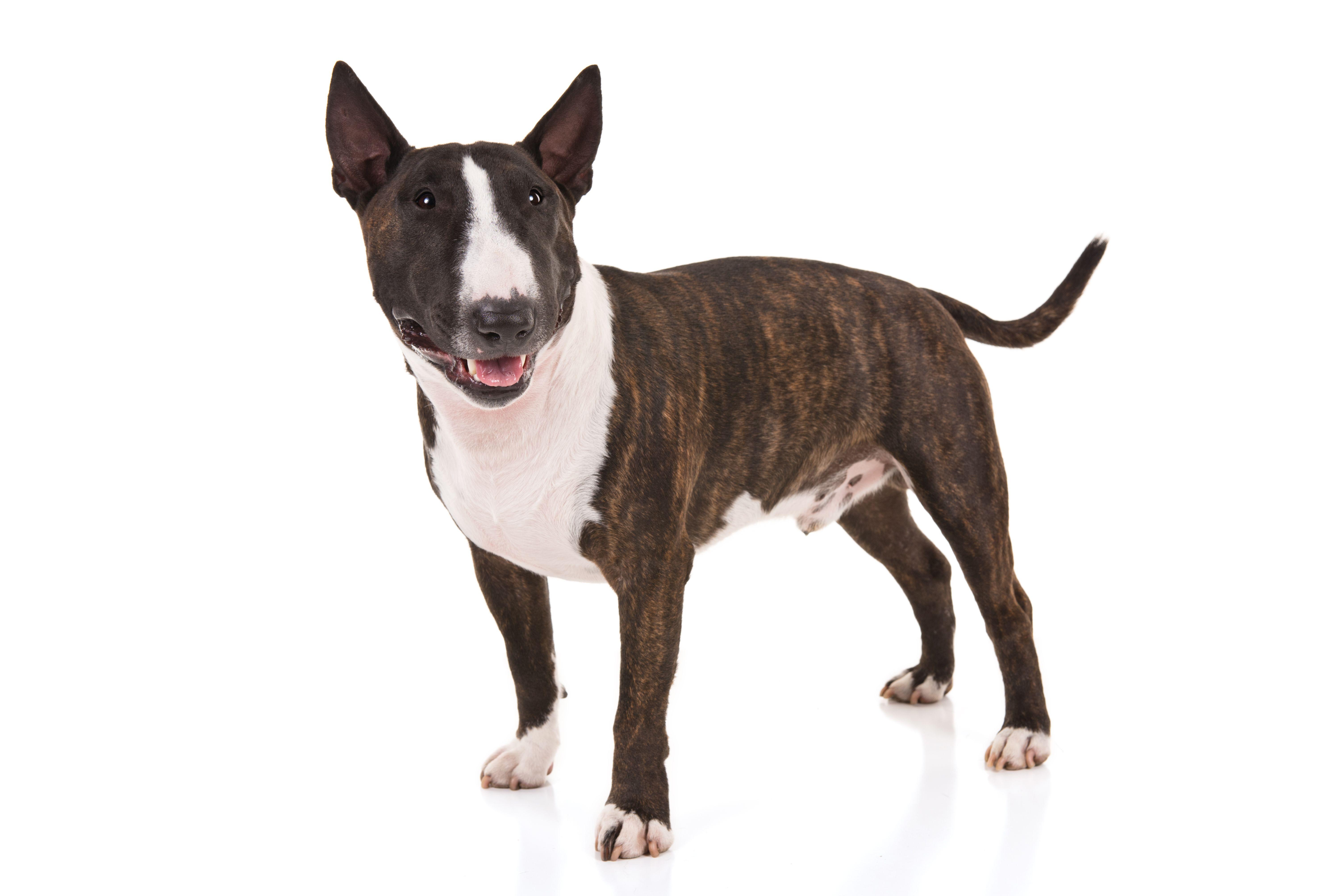 Miniature Bull Terrier Dog Breed Information Miniature Bull Terrier Dog Breeds Akc Dog Breeds