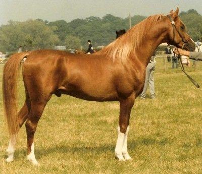 EL SALEEM (Maleik el Kheil x Crysilla, by *El Shaklan) 1985 chestnut stallion