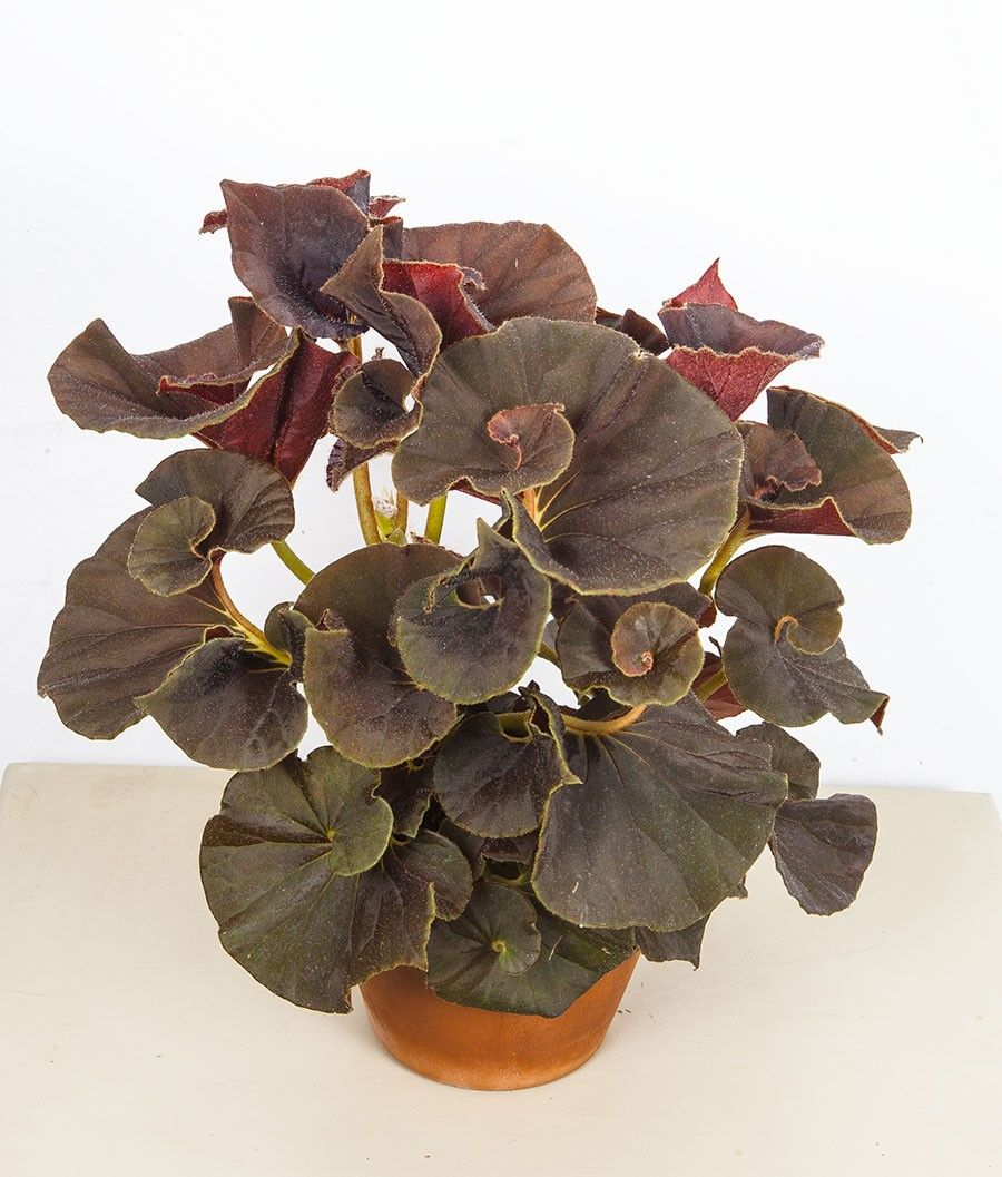 Begonia Chocolate Swirl Begonia Rhizomatous Hybrid A Rich Chocolate Brown Colors The Deeply Spiraled Leaves Of This Compact Growin Begonia Plants Plant Sale