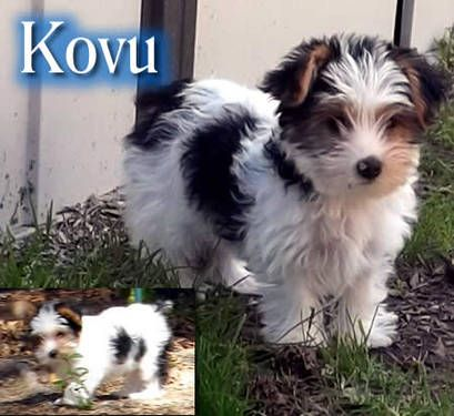 Kovu Akc Parti Yorkshire Terrier Biewer Yorkie Puppy Ready Now Honden