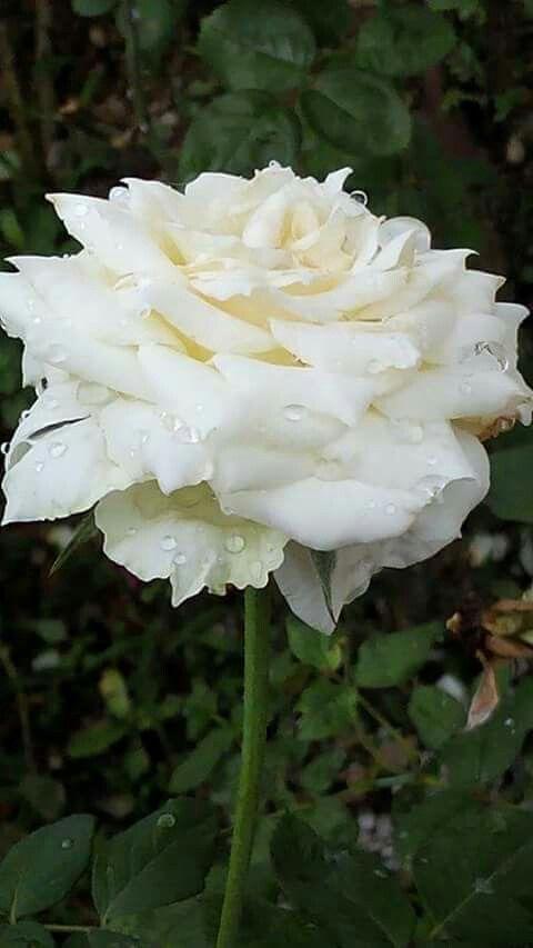 Épinglé par Chrislyne sur The Queen of the Flowers | Fleurs ...