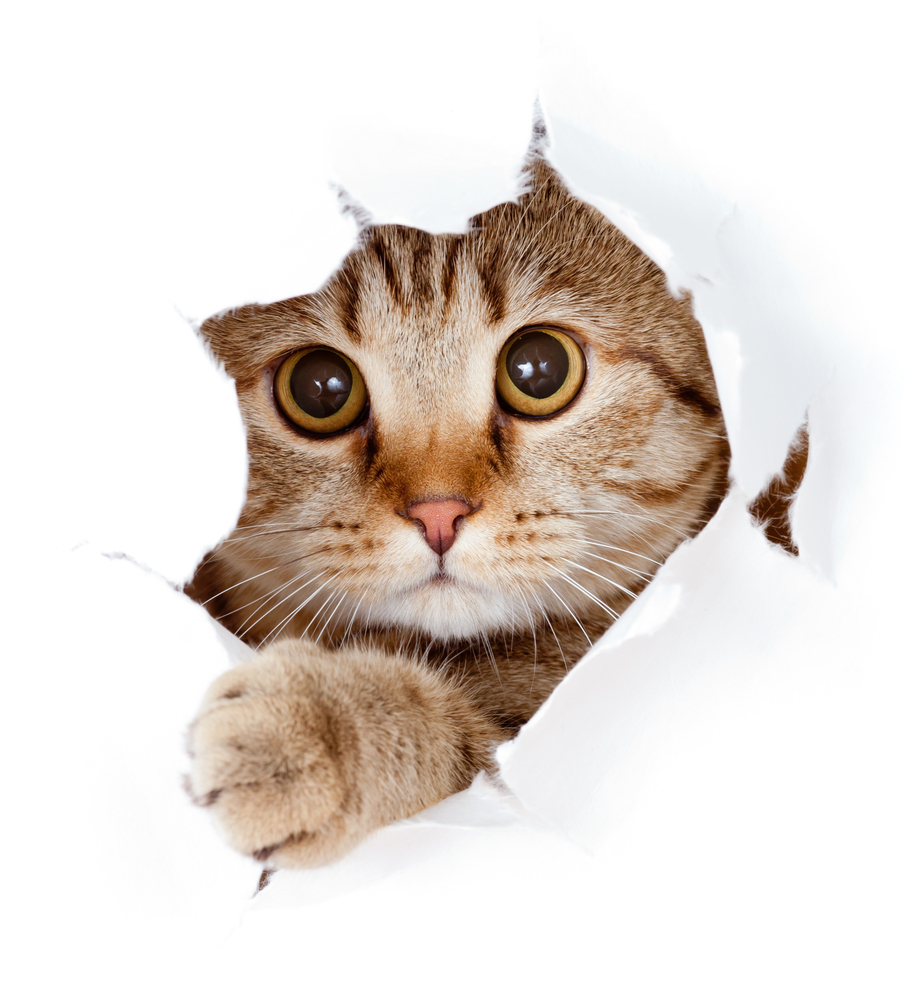 Cat Looking Paper Side Torn Hole Cats Cats And Kittens Cat Facts