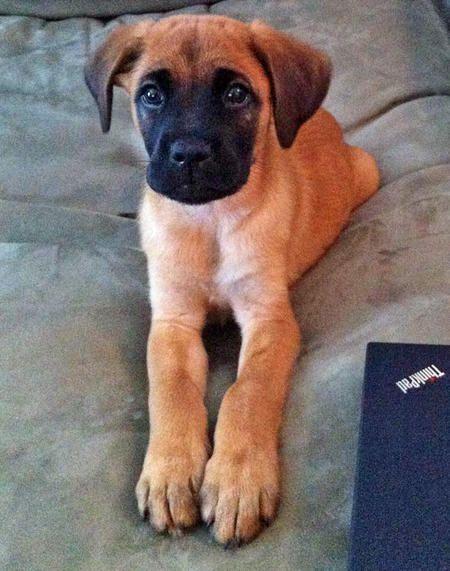 Gus The Boxer German Shepherd Dog And Golden Retriever Mix Cute