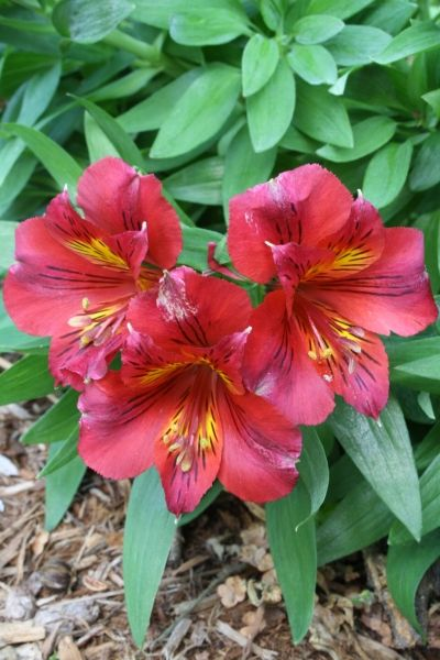 alstroemeria princess oxana pp 14075 dwarf rock garden plants and hummingbird plants. Black Bedroom Furniture Sets. Home Design Ideas
