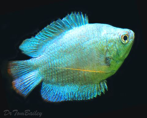 Male neon blue dwarf gouramis at where for Neon freshwater fish