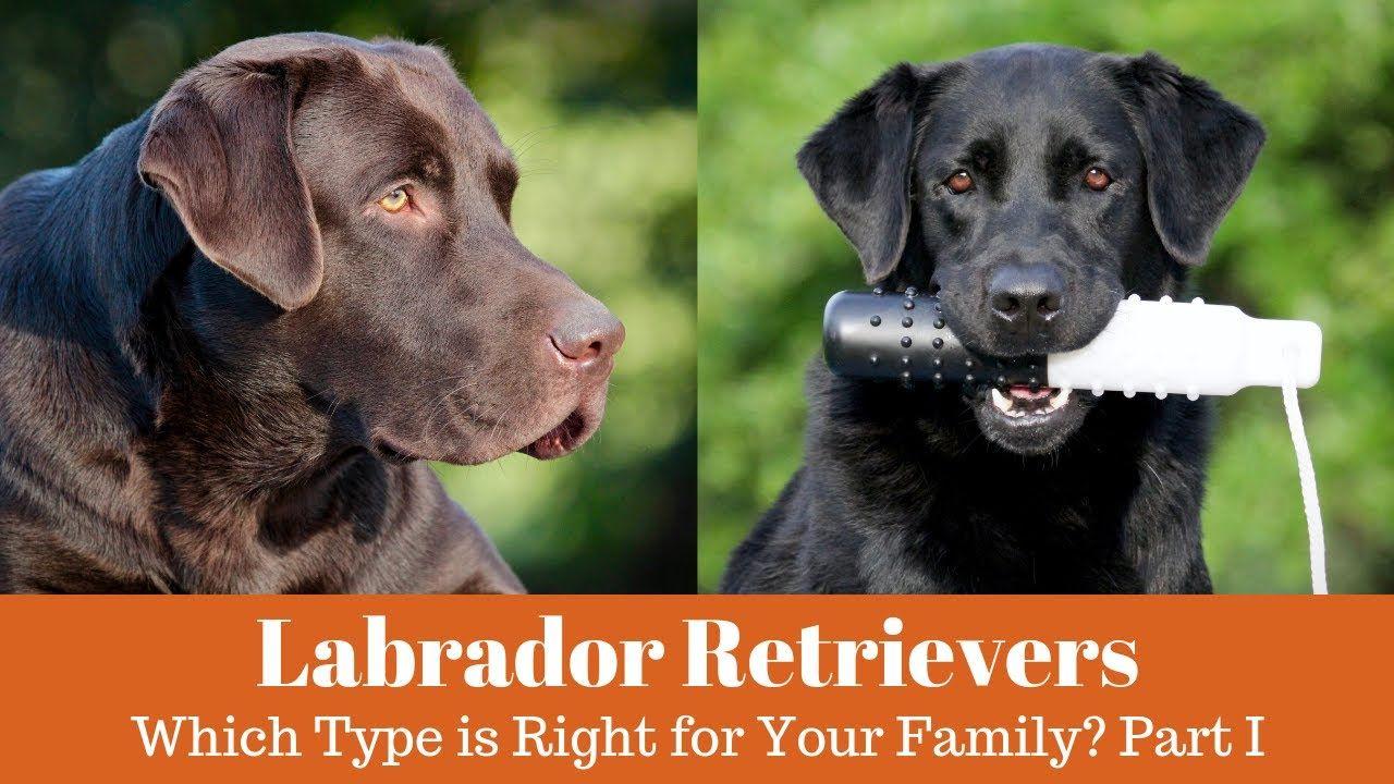 English Vs American Labrador Retrievers Part 1 Youtube With