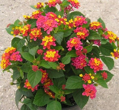 Lantana Quot Anne Marie Quot Lantana Pinterest Sands Plants And Colors Plants Lantana Plant Making Plant Pots