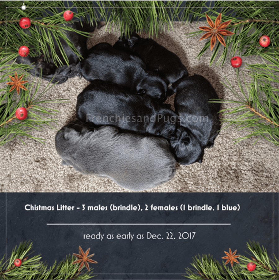 Pin By Frenchies And Pugs On French Bulldog Puppies For Sale Ohio Pug Puppies For Sale Puppies For Sale Pug Puppies