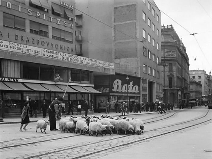 Sheep On Ilica Zagreb S Main Street And Square 1938 Zagreb Oldtimes Oldpictures Blacknwhite Photography Lobagolabnb Zagreb Croatia Zagreb Croatia