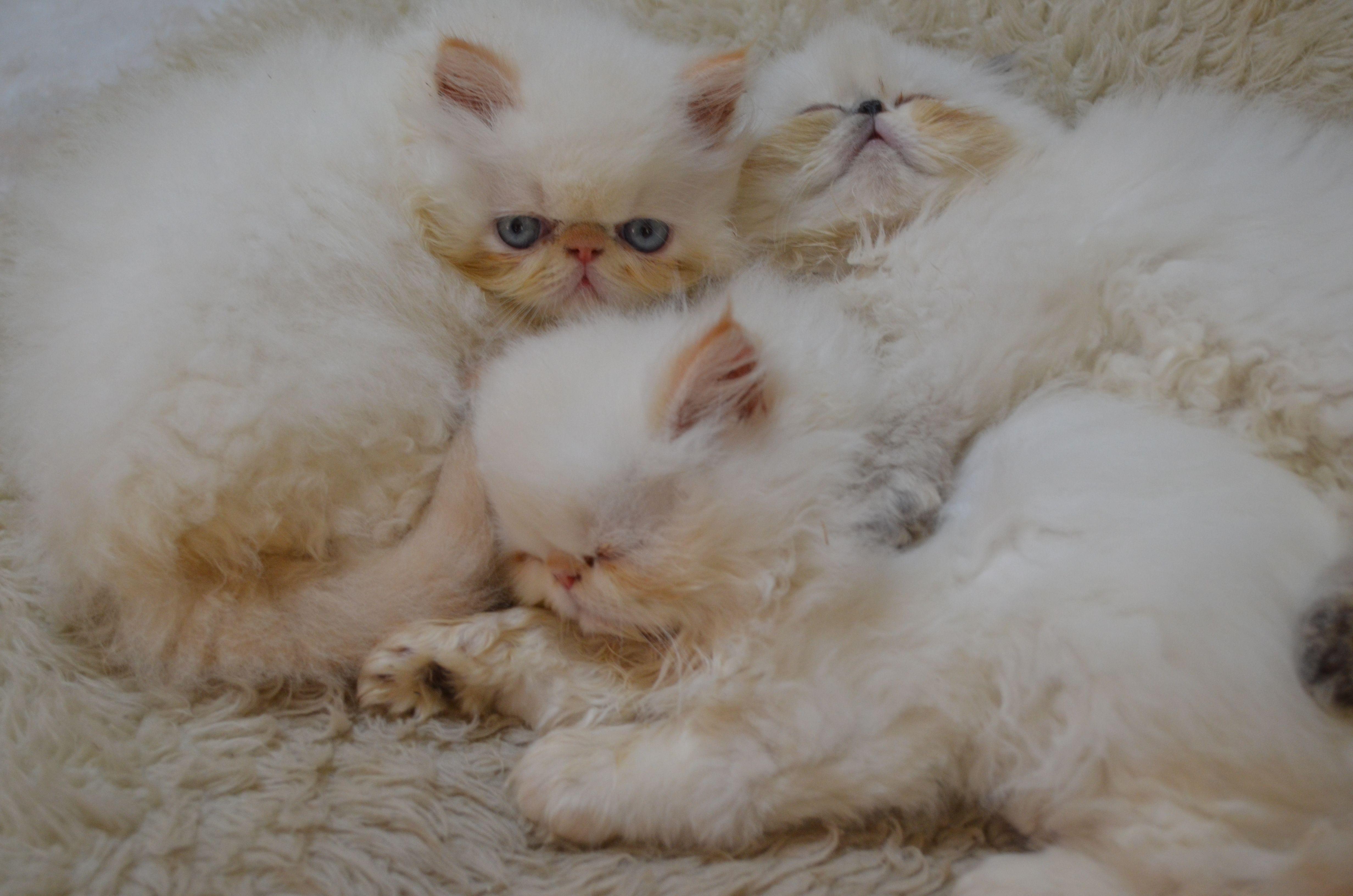 3 Little Kittens After A Big Lunch Persian Kittens Kittens Little Kittens