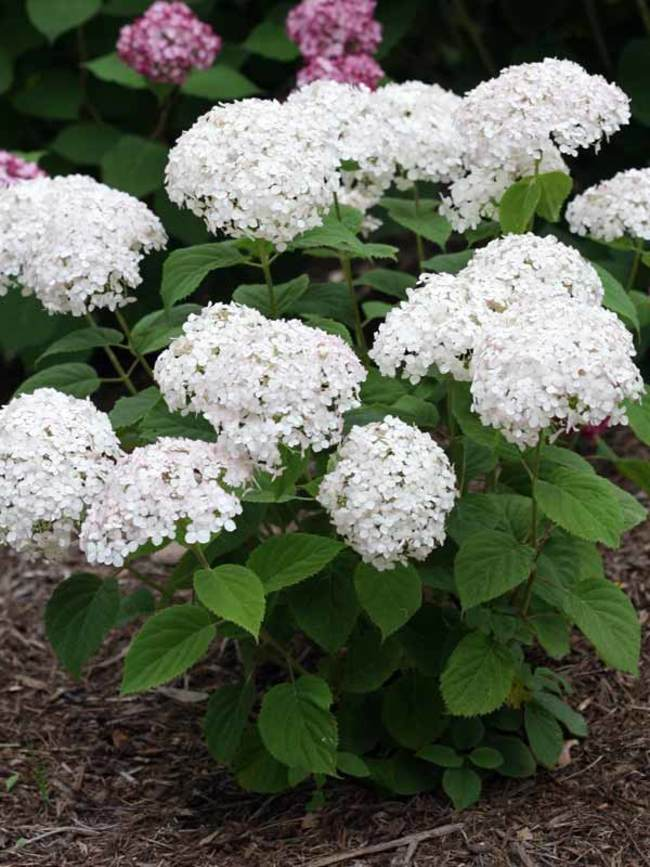 Hydrangea Wee White Bluestone Perennials 12 30 X 2 3 Full Sun To Mostly Sun In 2020 Smooth Hydrangea White Perennial Flowers White Flowering Shrubs