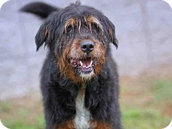 Tallahassee Fl Airedale Terrier Bernese Mountain Dog Mix Meet Casey A Dog For Adoption Http Www Adoptap Bernese Mountain Dog Mix Dog Mixes Dog Adoption