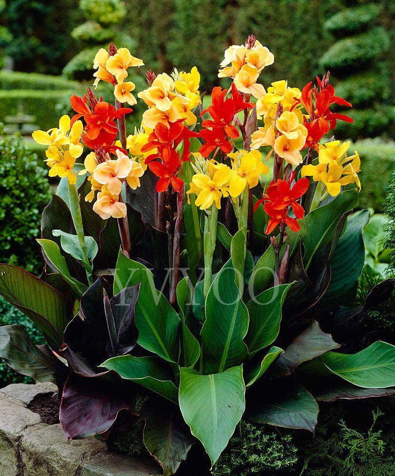 Hot Sale Beautiful Flower Canna Seeds Garden Plant Canna