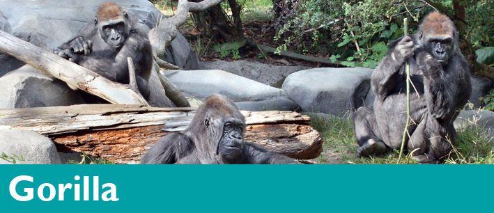Gorilla Woodland Park Zoo Seattle Wa Woodland Park Zoo Zoo Gorilla