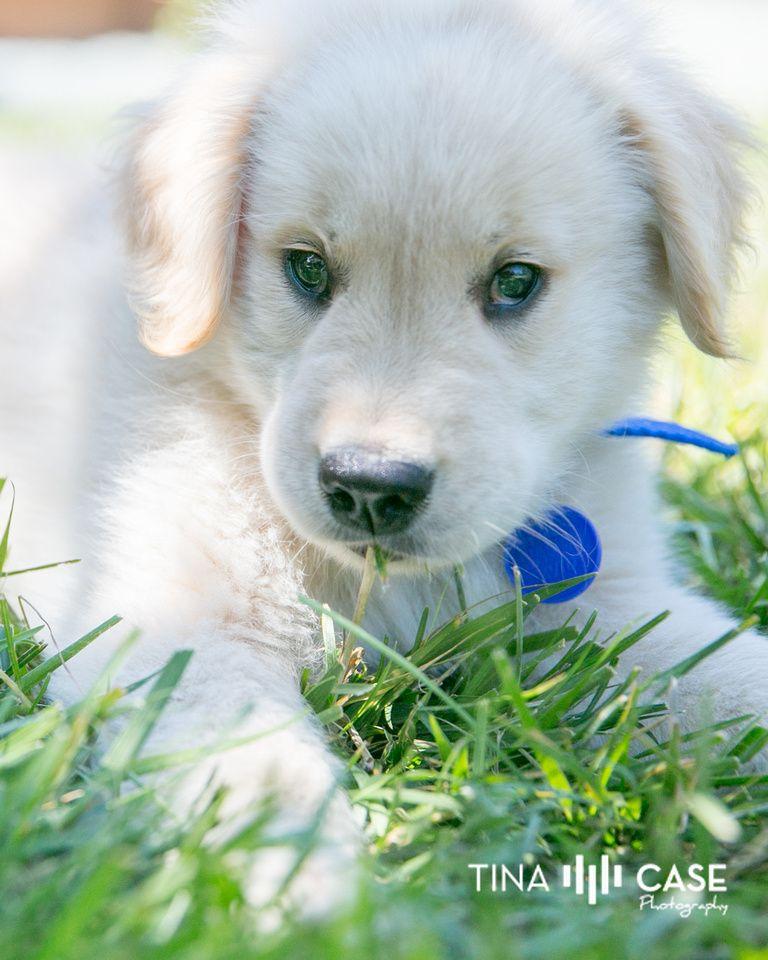 Puppy Love Pet Portraits Tina Case Photography White Golden Retriever Puppy Love Pet Pet Portraits