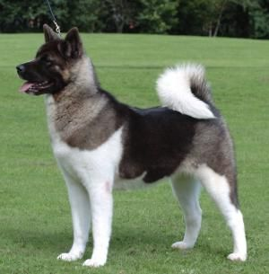 Akita Dog Breed Profile Akita Dog Akita Puppies Dog Breeds