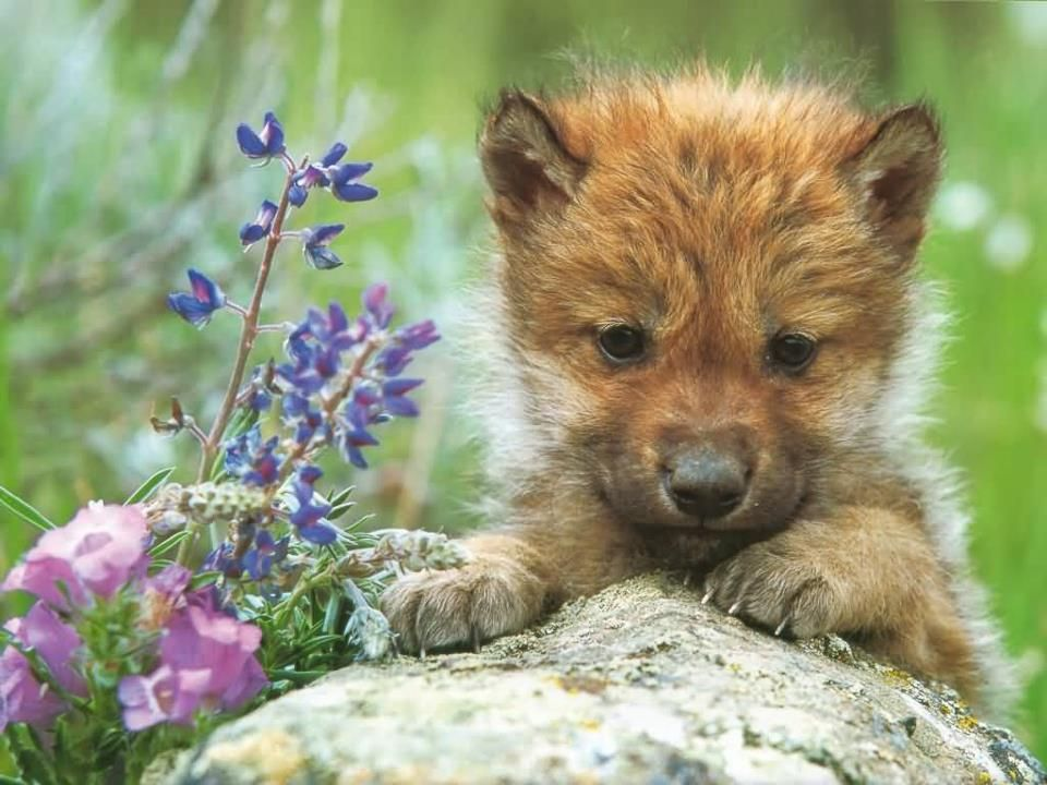 Pin By Nancy Oliver On Scotland Alba Gu Brath Baby Wolves Wolf Pup Baby Animals