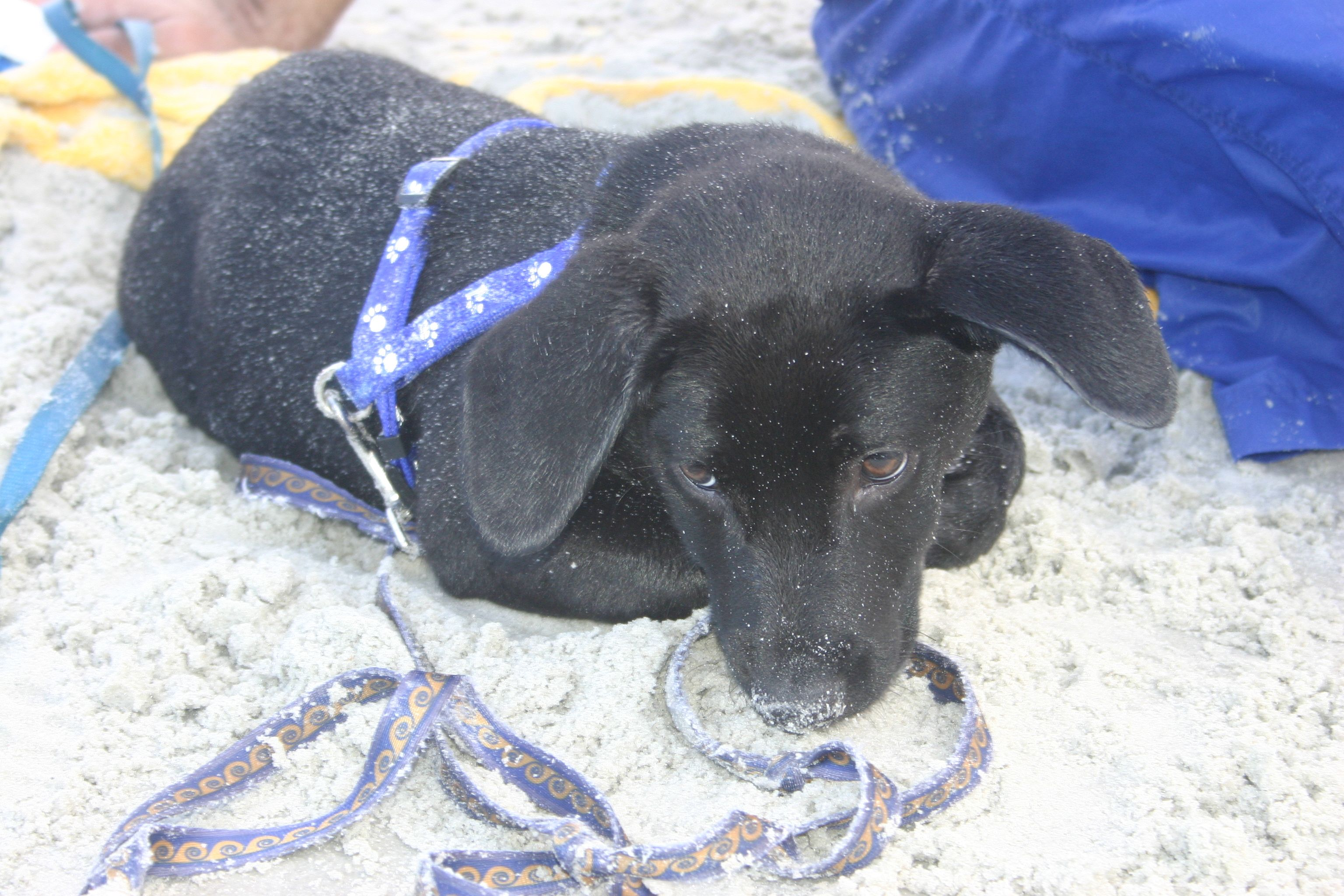 Fred at neptune beach fl neptune beach labrador