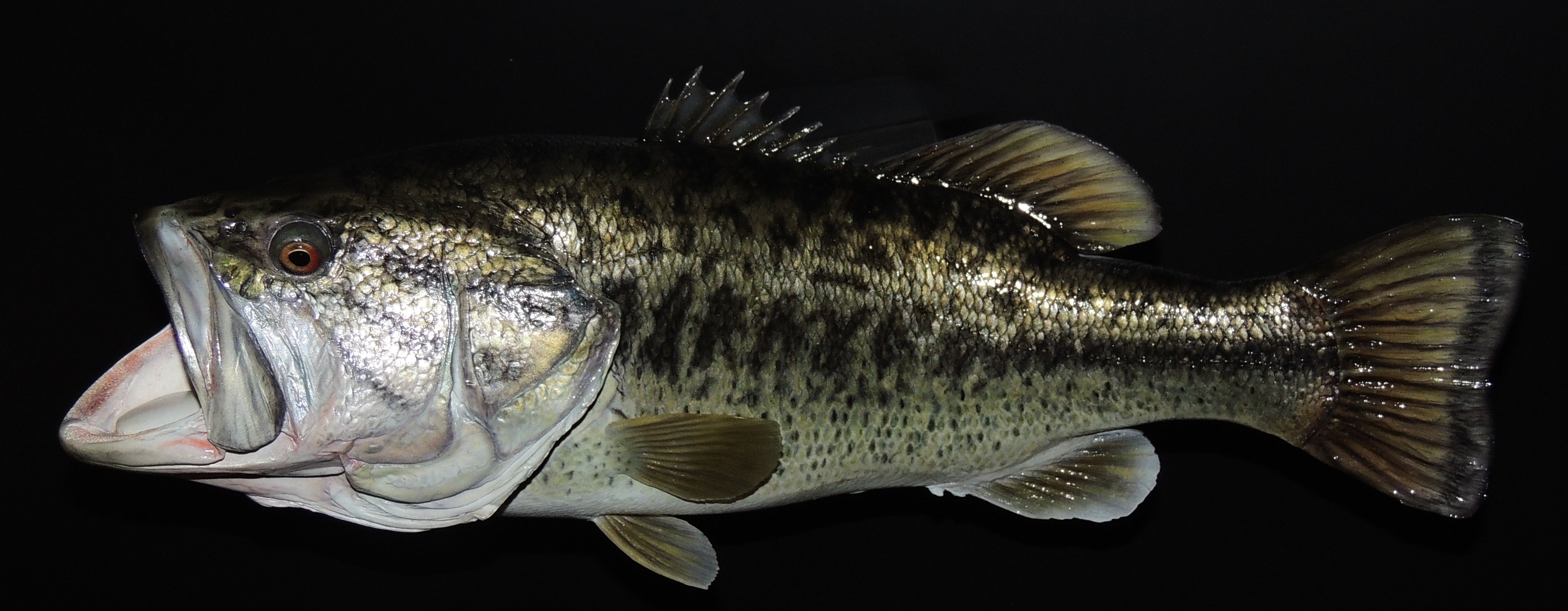fish mounts, fish replicas, taxidermy, home décor, largemouth bass