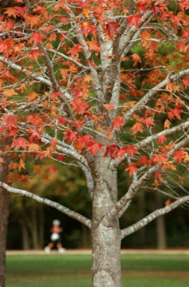 Sweet gum's bright reds and oranges in Memorial Park. Photo: E. JOSEPH DEERING, CHRONICLE