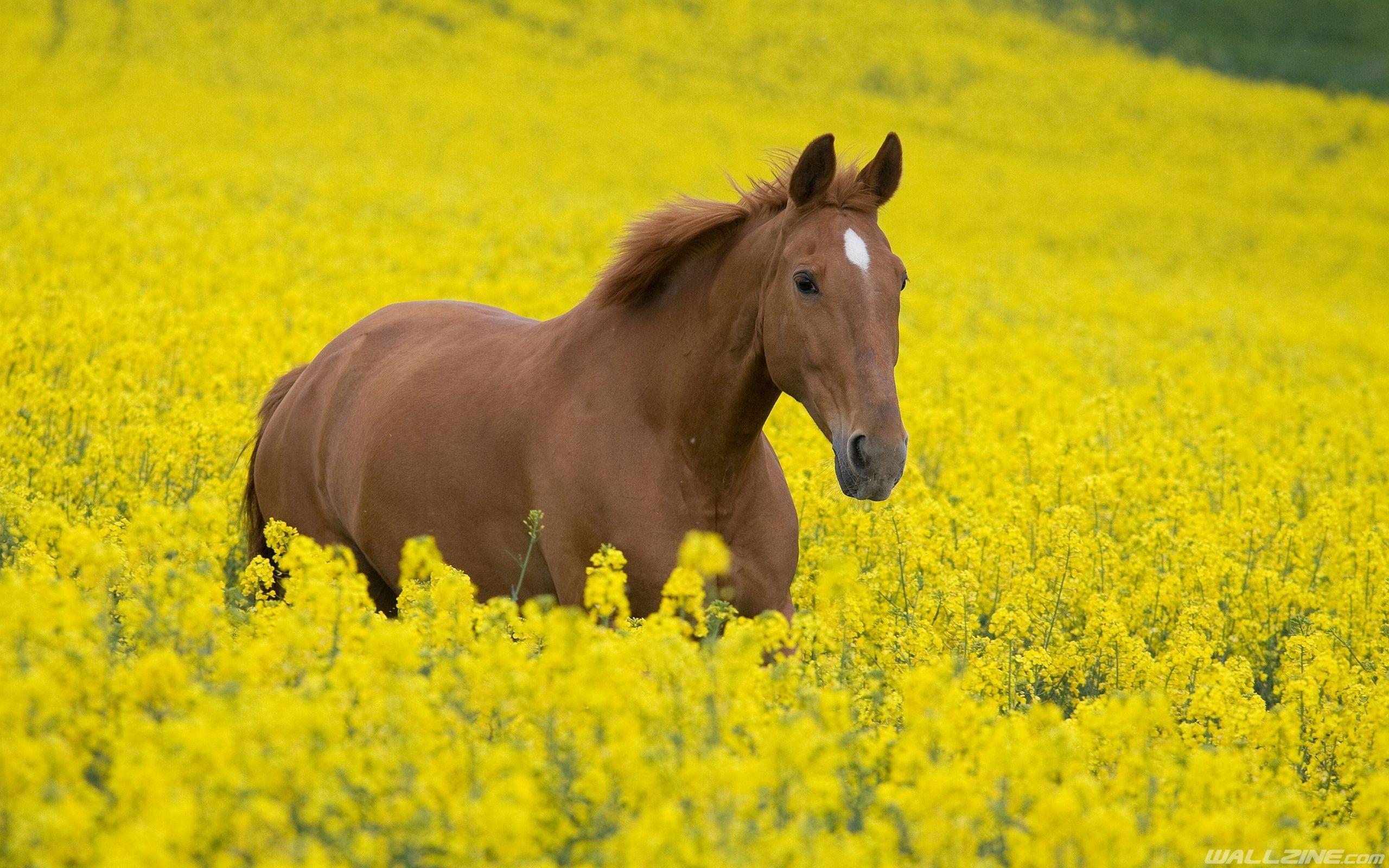 Beautiful Wallpaper Horse Yellow - 44d2c34109187688b63bd8a577d378b9  Graphic_644964.jpg