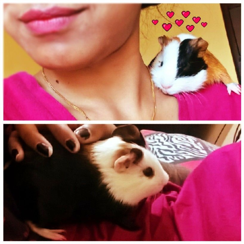 Pin On Guinea Pig Mom