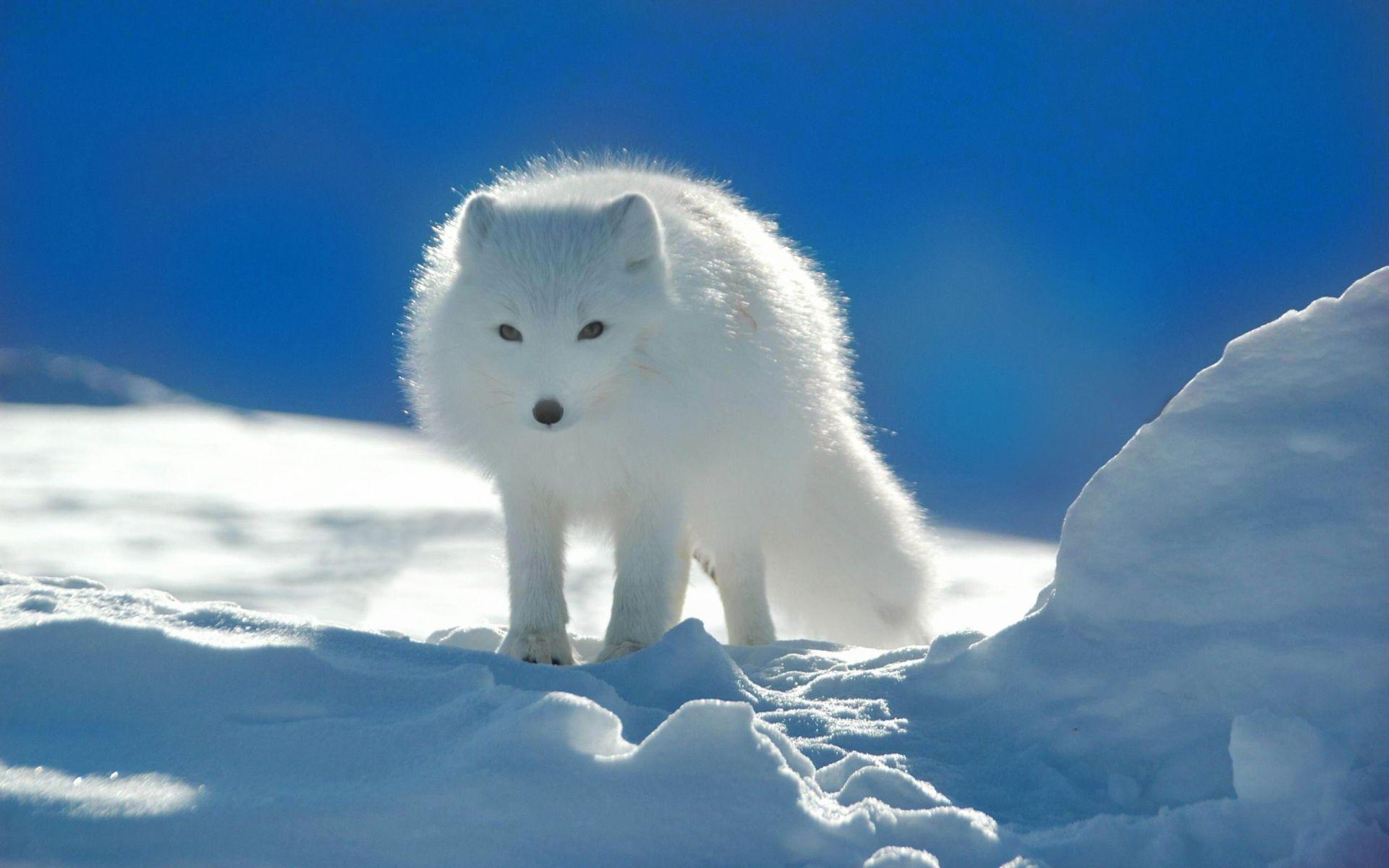 The Arctic fox http//ift.tt/2eMlX5H Snow animals