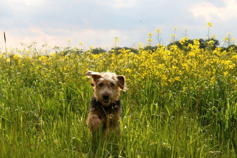 Dackel-Terrier-Mix Lucky  Juppi, Frühling!! Jetzt kann ich bald wieder durch die Rapsfelder hopsen       Mehr lesen: http://d2l.in/5o  dogs2love - Gassi gehen zum Verlieben. Partnerbörse für alle, die Hunde lieben.  Bild, Dating, Foto, Hund, Partner, Rasse, Single