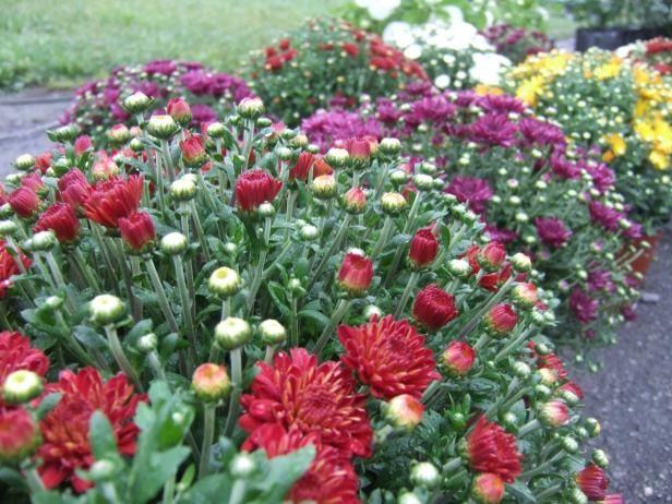 Mums 101: When To Plant and How To Grow Chrysanthemums