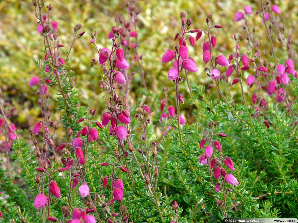 Daboecia Cantabrica Irish Heath An Interesting Evergreen Heather To Try In The Warmer Southern Regions It Has Heath Plant Purple And White Flowers Plants