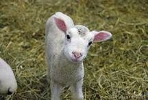 Pictures of Baby Lamb - Bing Images