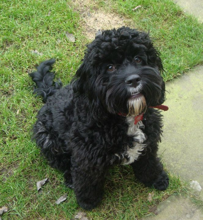 Picture  Dog Breeds, Your Dog, Cockapoo-5868