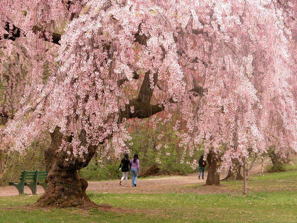 Prunus Serrulata Sakura Cherry Blossom Royal Siam Beauty Cherry Blossom Festival Cherry Blossom Tree Cherry Tree